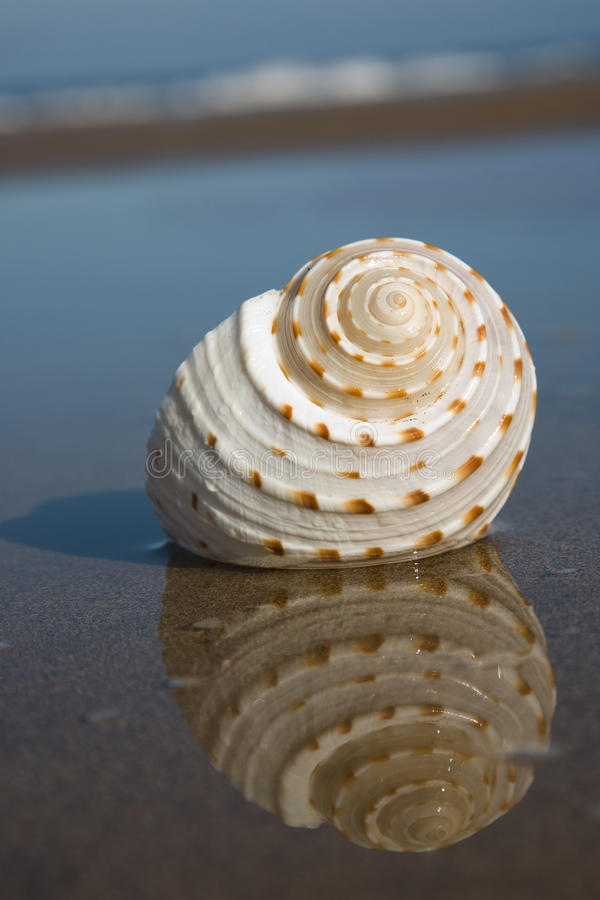 Seashell sur la plage photo libre de droits