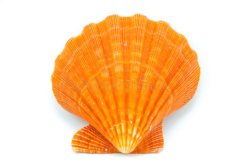 Seashell sur le fond blanc photo stock