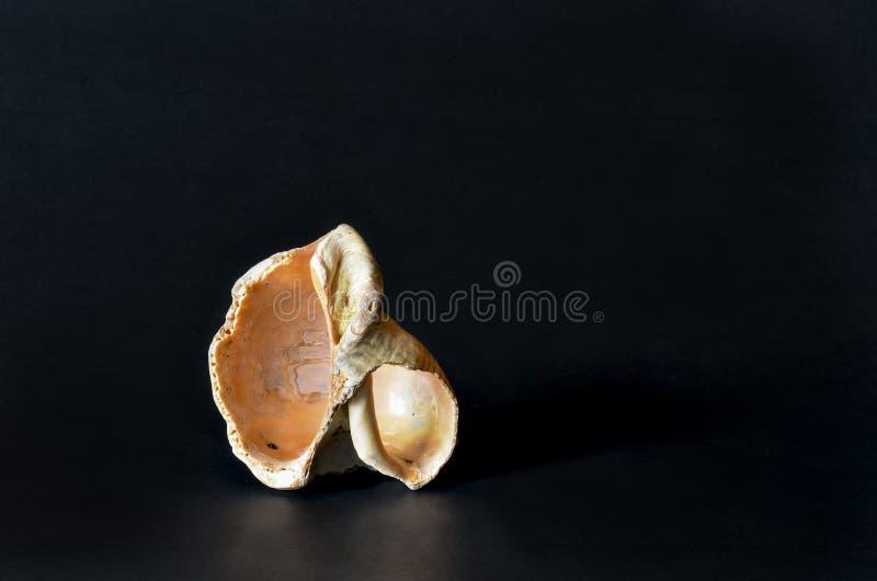 Seashell sur le noir images stock