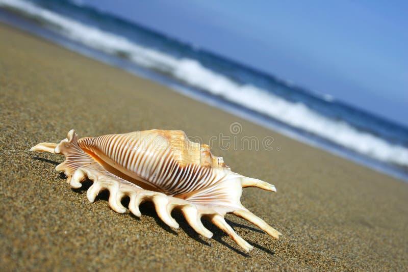 Seashell sur le rivage images libres de droits