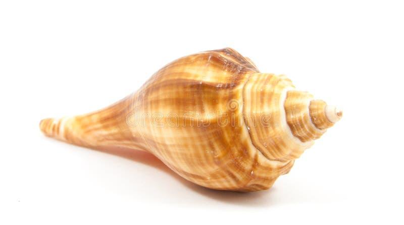 Seashell w zakończeniu odizolowywającym fotografia royalty free