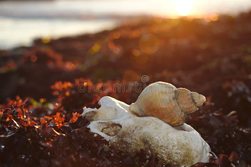 Seashell w zmierzchu obraz royalty free