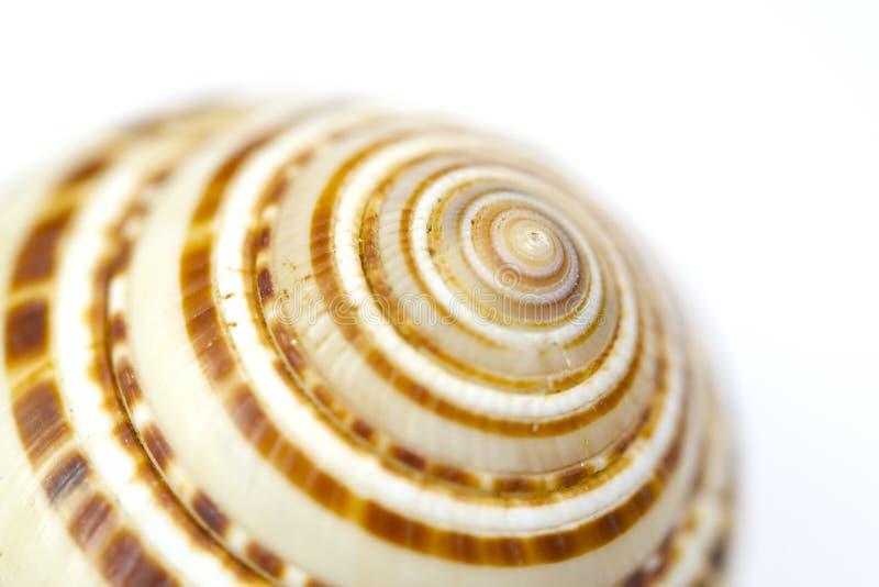 Seashell zamknięty up - sundial skorupa zdjęcia stock