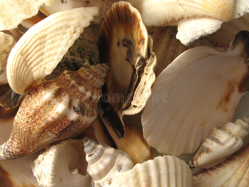 Download The Seashells stock image. Image of naturaly, orange, mollusk - 102231