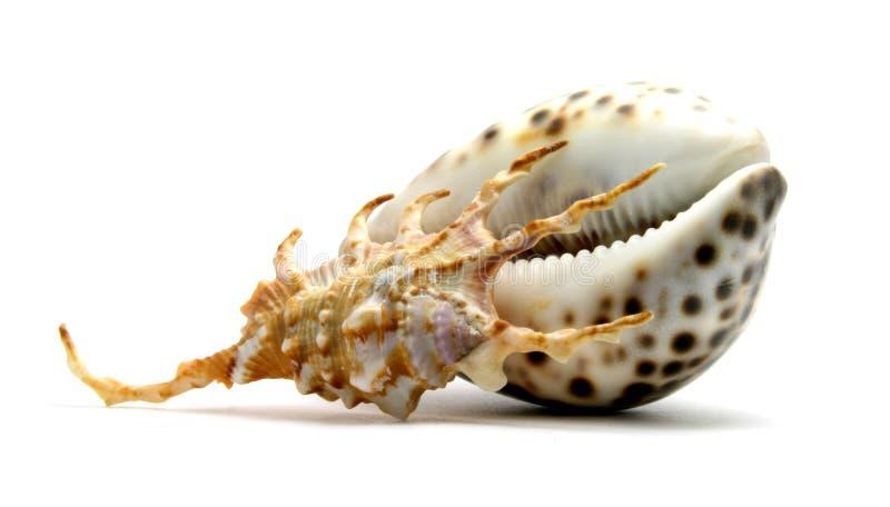 Seashells. Isolated on white background royalty free stock photo