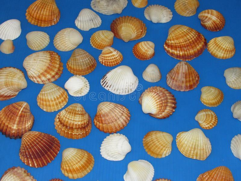 seashells fotografie stock