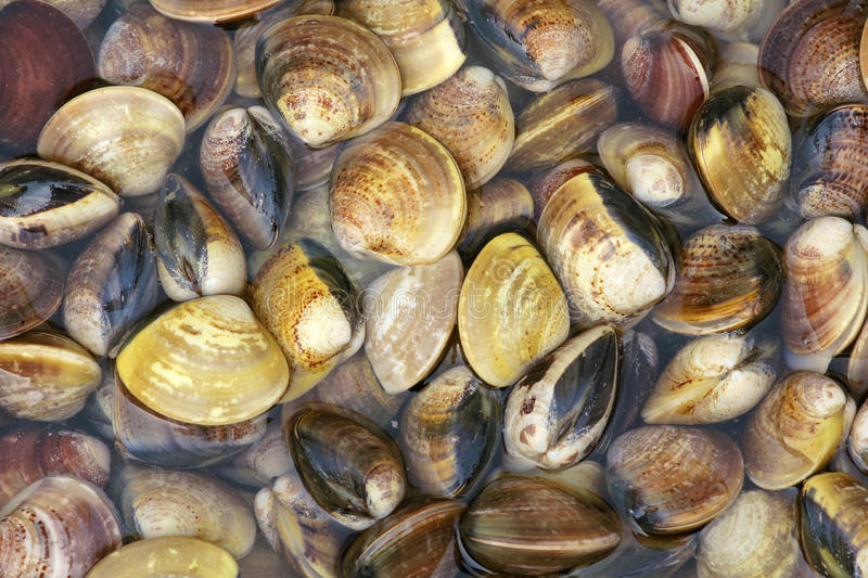 Download Seashells stock image. Image of seashell, marine, food - 25822205