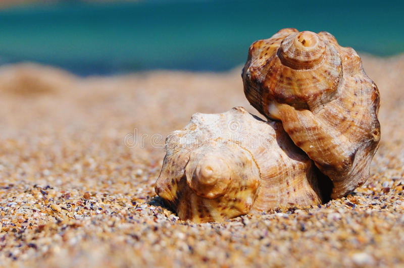 Download Seashells stock image. Image of gastropod, wildlife, calm - 27452599