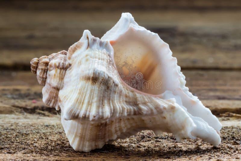 seashells zdjęcie royalty free