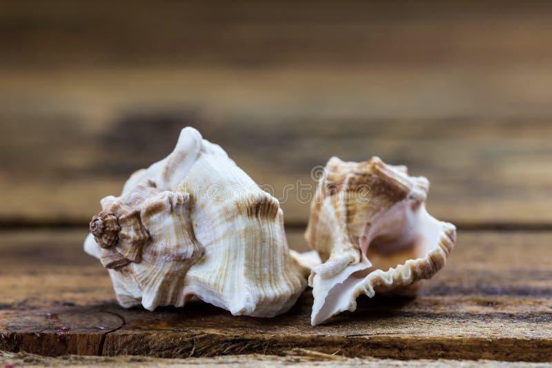 seashells obraz royalty free