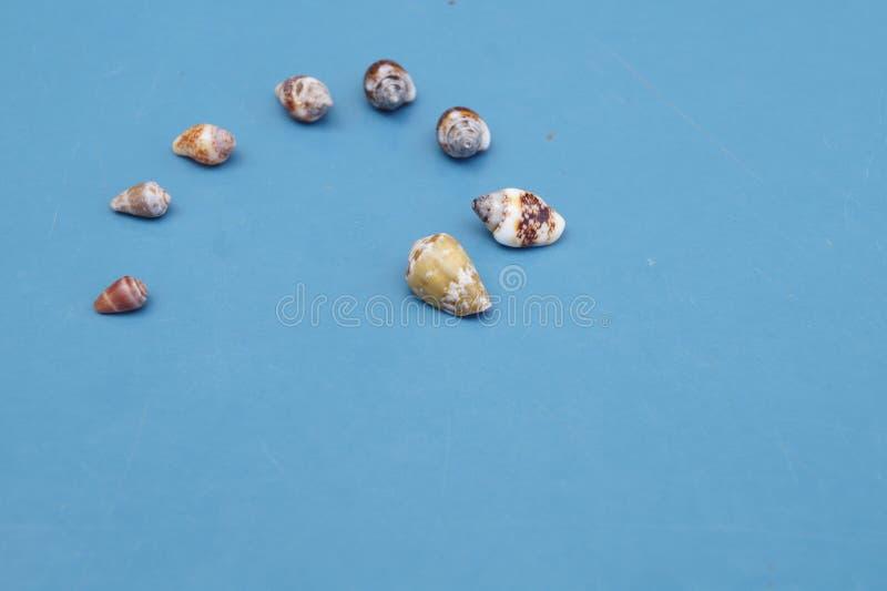 3 seashells zdjęcie royalty free