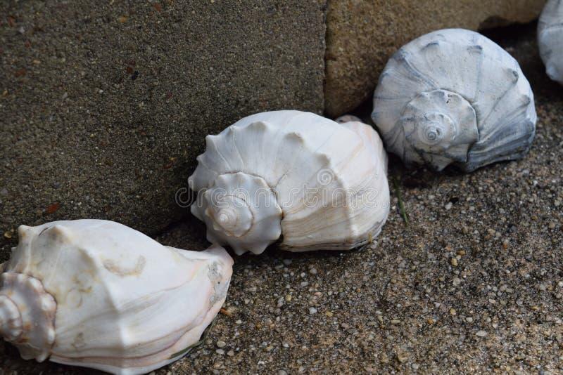 Seashells brancos imagem de stock royalty free