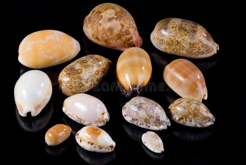 seashells cowrie стоковая фотография rf