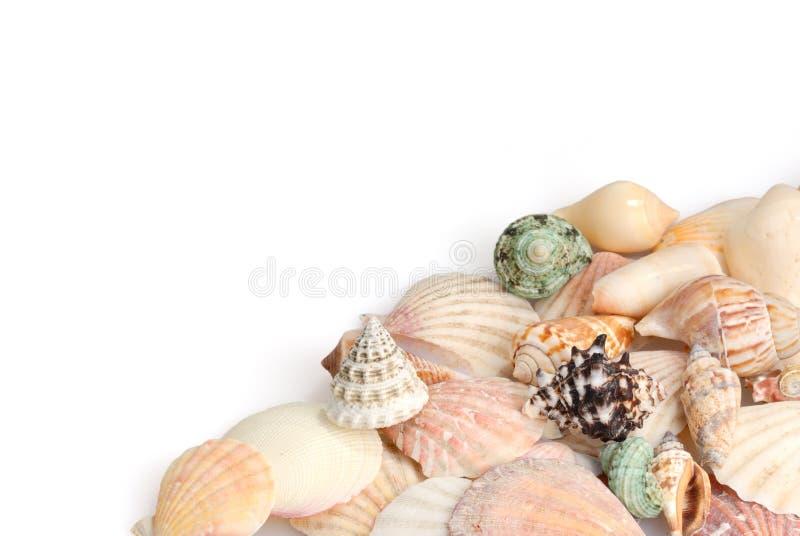 Seashells en el fondo blanco imagen de archivo
