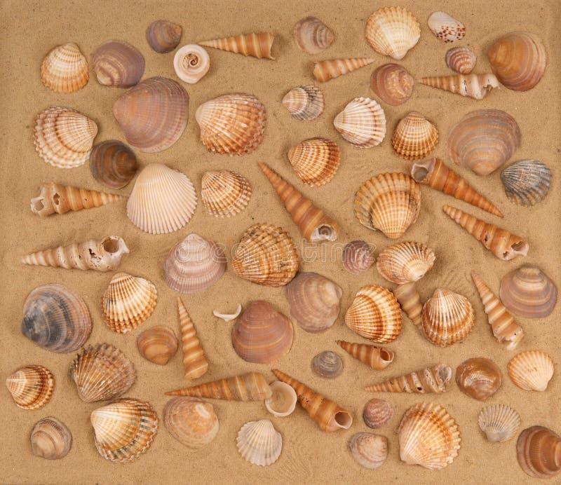 Seashells grandes en la arena imagen de archivo