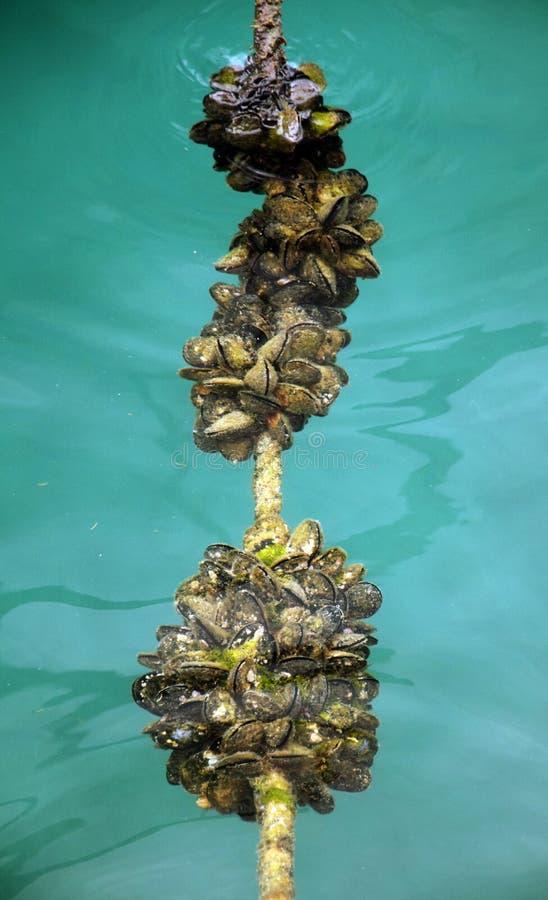 Seashells on the rope - Pučišća stock photography