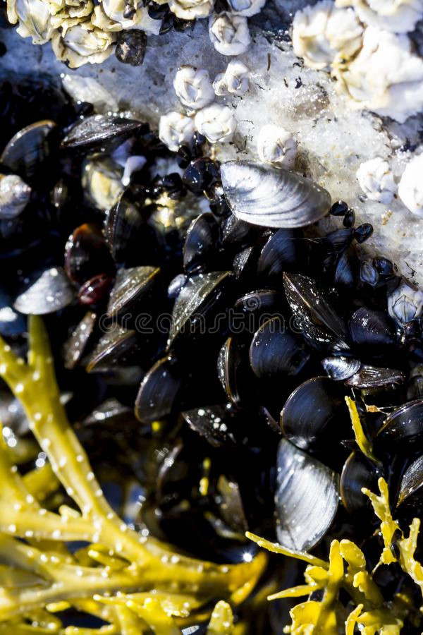Seashells and seaweed in shallow water from above. Sea mollusks on the littoral of the White Sea at low tide. Close up image.  stock image