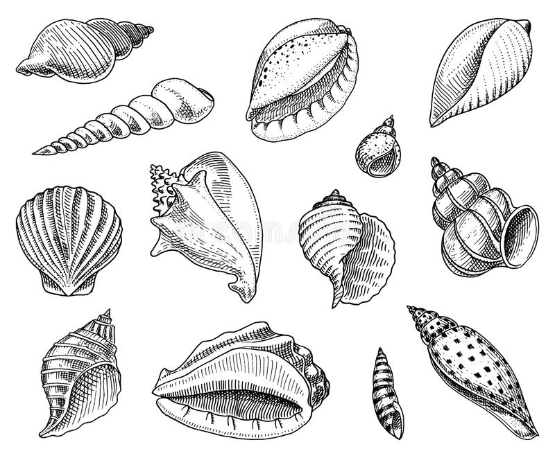 Seashells set or mollusca different forms. sea creature. engraved hand drawn in old sketch, vintage style. nautical or. Marine, monster or food. animals in the stock illustration