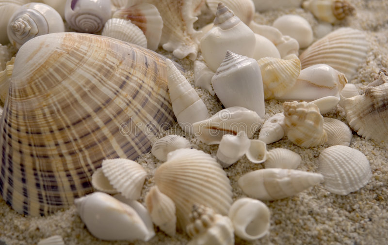 Seashells sitting in sand stock images