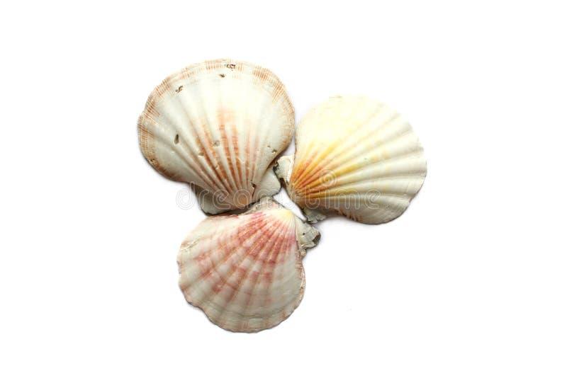Seashells su priorità bassa bianca immagini stock