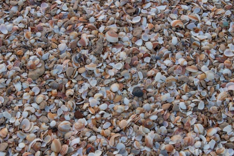 Seashells sulla spiaggia immagine stock