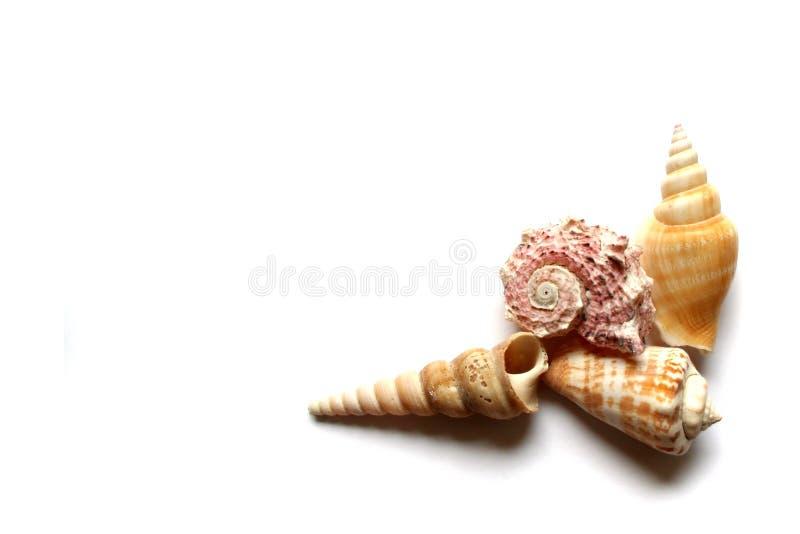 Seashells on white. Seashells on the white background royalty free stock image
