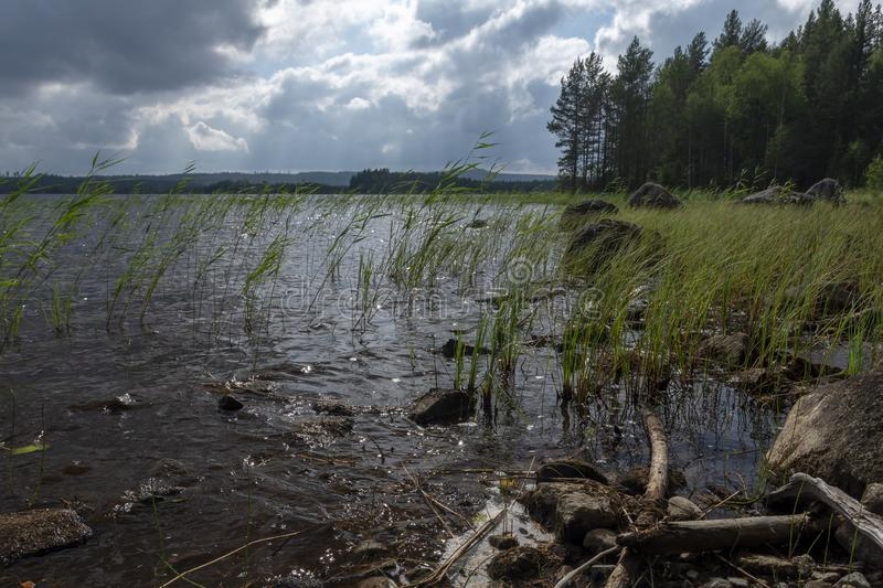 Seashore with lot of seaweed in foreground and a forest and dark. Clouds in background, picture from the Northern Sweden royalty free stock image
