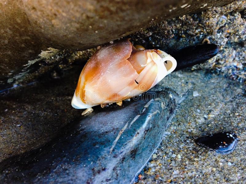 Seashore Shell zdjęcia royalty free