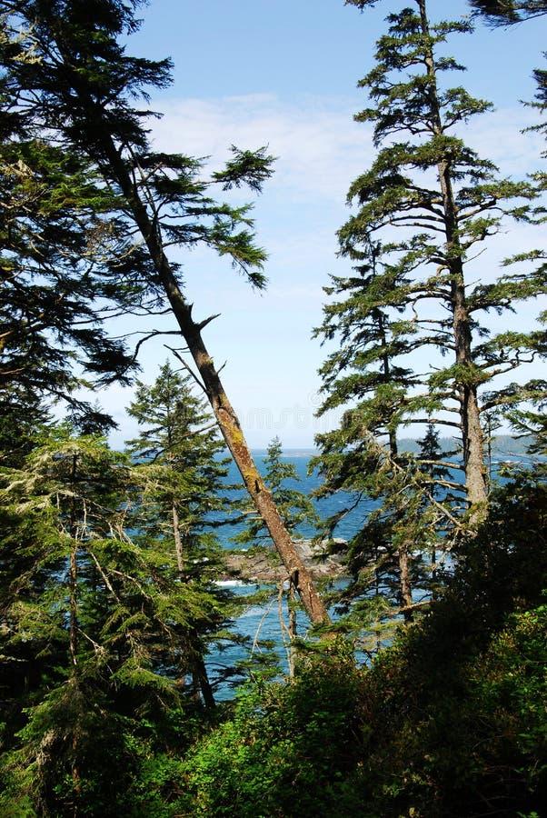 Seaside cedar forest stock image
