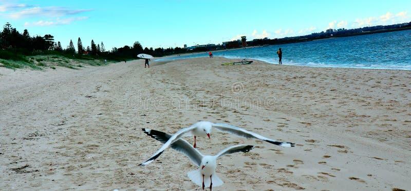 Seaside couple series -Seagulls on the beach. Seaside couple series -Taken at Brighton-Le-Sands Beach, Sydney.Seagulls on the beach royalty free stock image