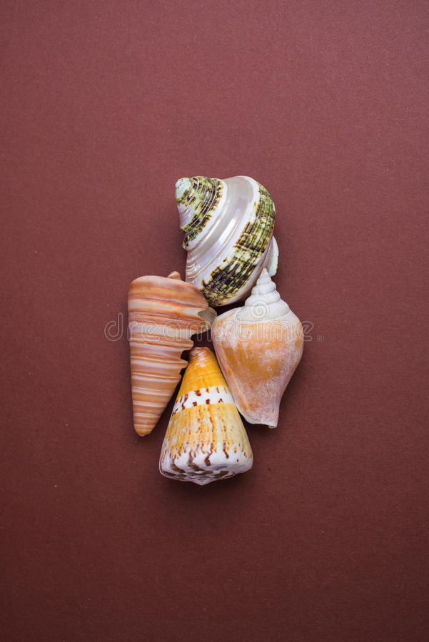 Seaside shell collecion. Studio shot Close up of a sea shell on a brown dark background stock images