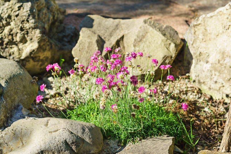 Seaside thrift Armeria maritima Mill. Willd. Armeria vulgaris Willd among the rocks. Summer day royalty free stock images