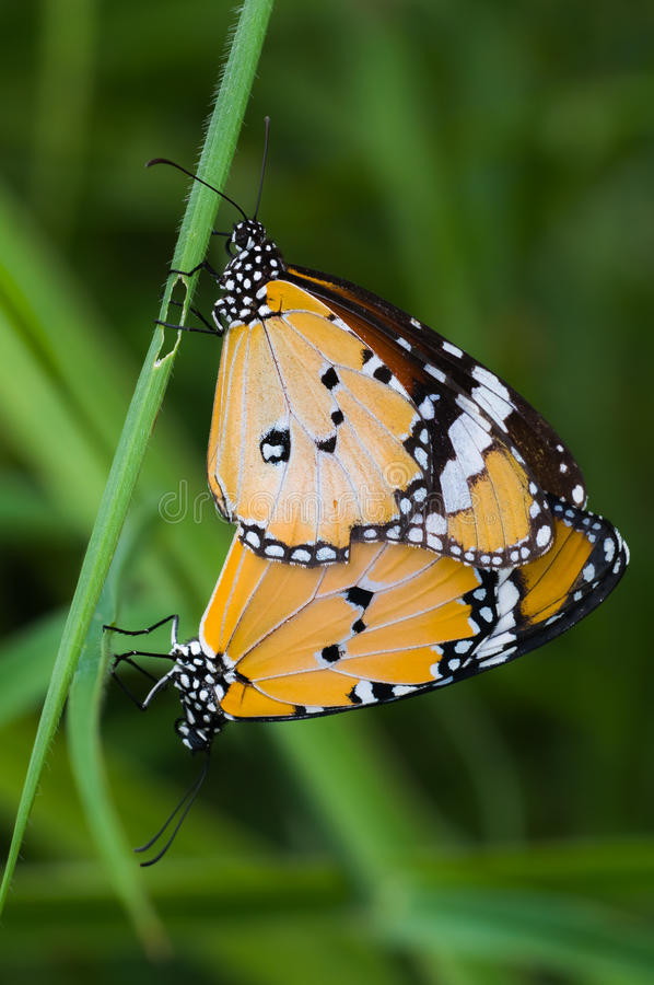 Season for breeding of butterfly royalty free stock photo
