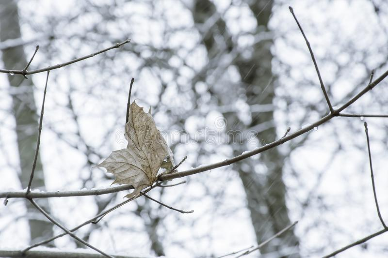 The last dry and yellow leaf on tree and falling snow.Season change in UK woodland stock photos
