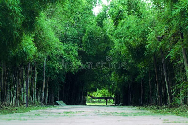Bamboo forest and pathway. Season, spring, view, grass, summer, tall, day, park, natural, walkway, asian, landscape, branch, tree, leaf, outdoor, tropical, plant royalty free stock image