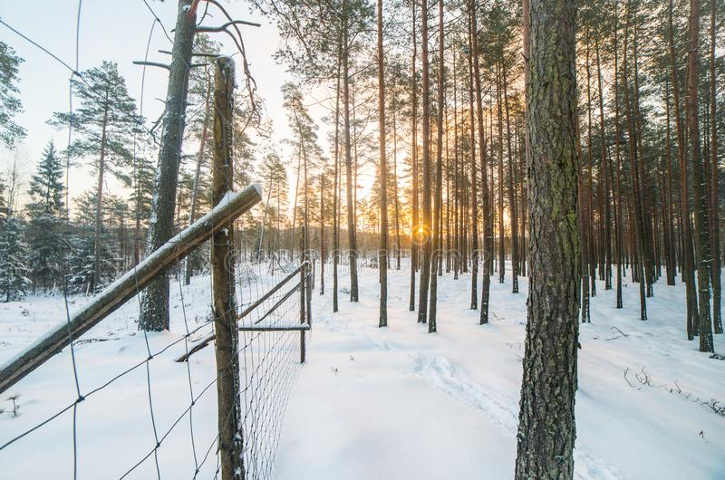 Season of winter, forest. Of pine trees stock photography