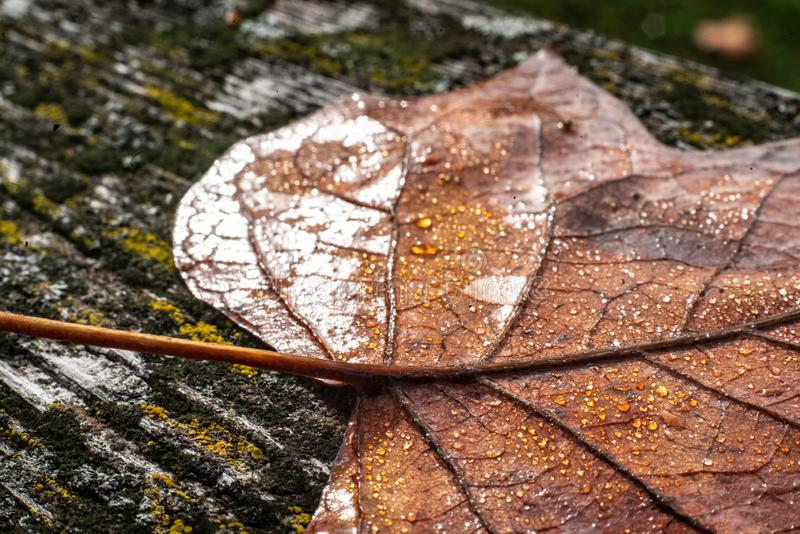 A colourful leaf with waterdrops in sunlight. Seasonal photograph of Autumn. A colourful leaf with waterdrops in sunlight royalty free stock image