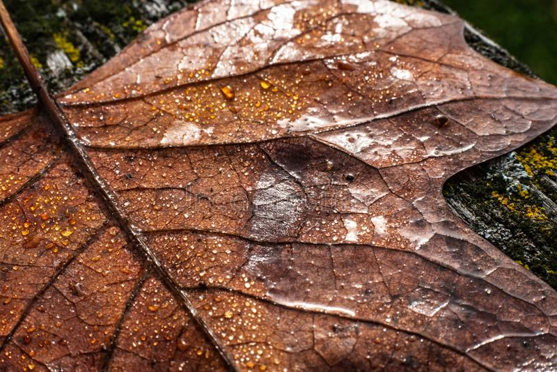 A colourful leaf with waterdrops in sunlight. Seasonal photograph of Autumn. A colourful leaf with waterdrops in sunlight stock photography