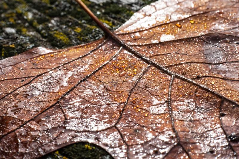 A colourful leaf with waterdrops in sunlight. Seasonal photograph of Autumn. A colourful leaf with waterdrops in sunlight stock image