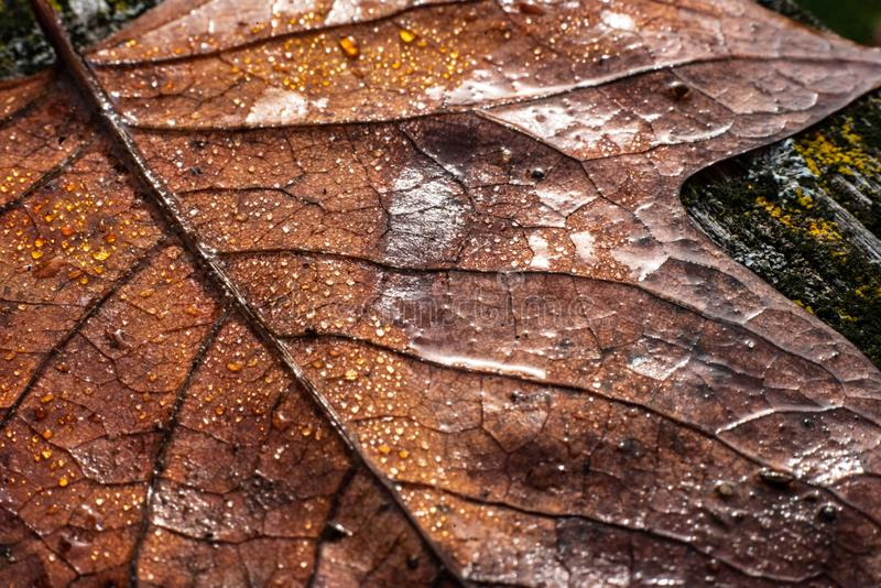 A colourful leaf with waterdrops in sunlight. Seasonal photograph of Autumn. A colourful leaf with waterdrops in sunlight royalty free stock images
