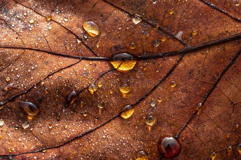 A colourful leaf with waterdrops in sunlight. Seasonal photograph of Autumn. A colourful leaf with waterdrops in sunlight royalty free stock photography