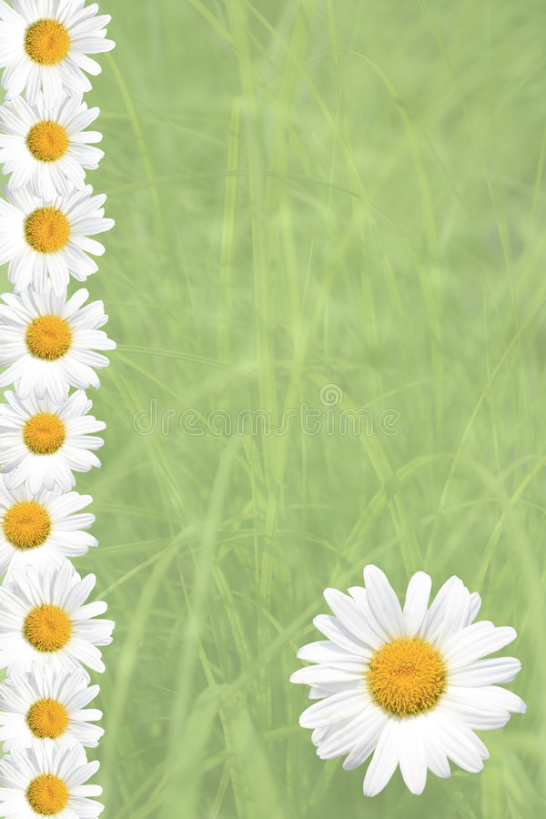 Seasonal Summer Daisy and Grass Background. Seasonal Summer or Spring Daisy and green grass background, versatile for a variety of designs stock photos