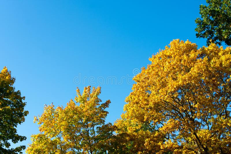 Seasonal Yellow And Green Autum Trees - Blue Sky In Background - Angled View From Bottom To The Top stock images