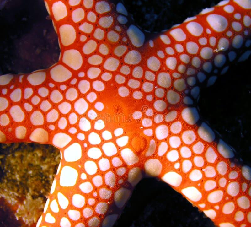 seastar鱼的红海 免版税库存图片