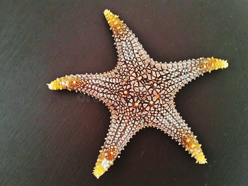 Seastar, ceramische seastar, Gele bevlekte seastar, gracilis Pentacerastar royalty-vrije stock afbeelding