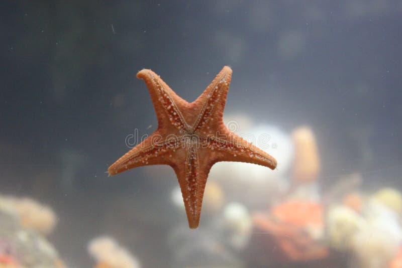 Starfish clinging to the aquarium window stock photography