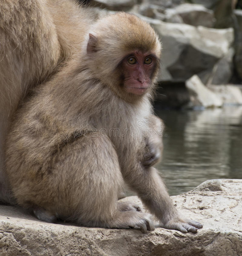 Seated Baby Snow Monkey. Baby snow monkey sitting on stones at water`s edge next to its mother. These Japanese macaques are next to a hot spring pool royalty free stock photos
