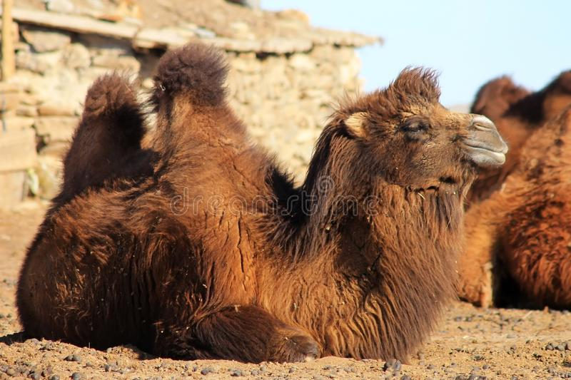 Seated brown Bactrian camel or two-humped camel in the Gobi Desert in the area of Tsagaan Suvraga, Mongolia. Seated brown Bactrian camel or two-humped camel in royalty free stock photography
