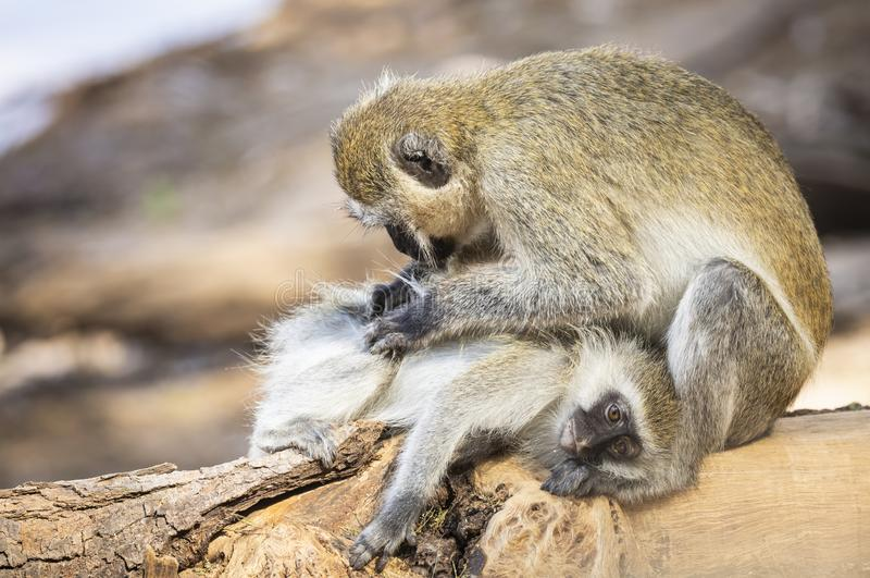 Seated mother black-faced vervet monkey, Ceropithecus aethiops, leaning over and grooming her baby stock photography