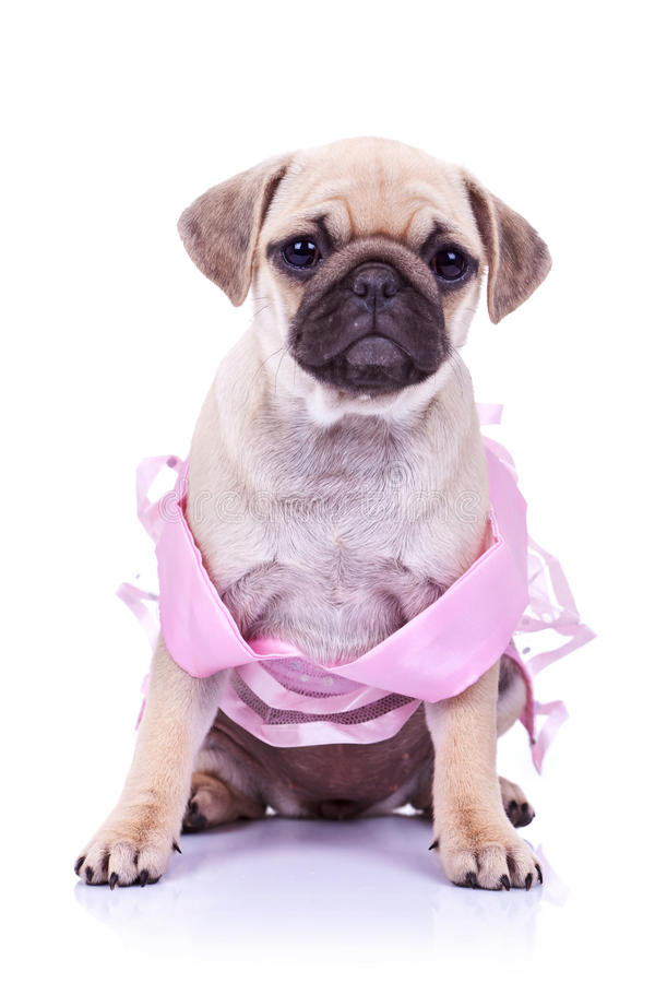 Download Seated Pug Puppy Dog Wearing A Pink Dress Stock Image - Image: 23362471